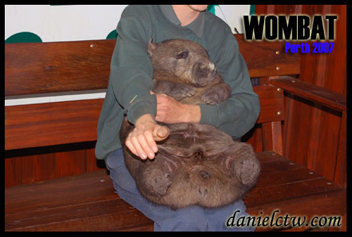 Carrying a Wombat