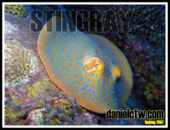 blue spotted stringray