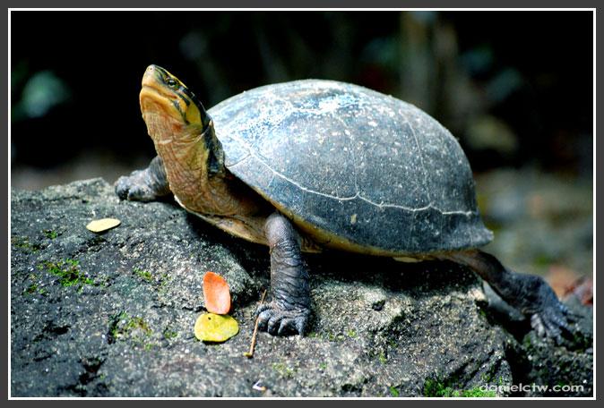 Posing Tortoise
