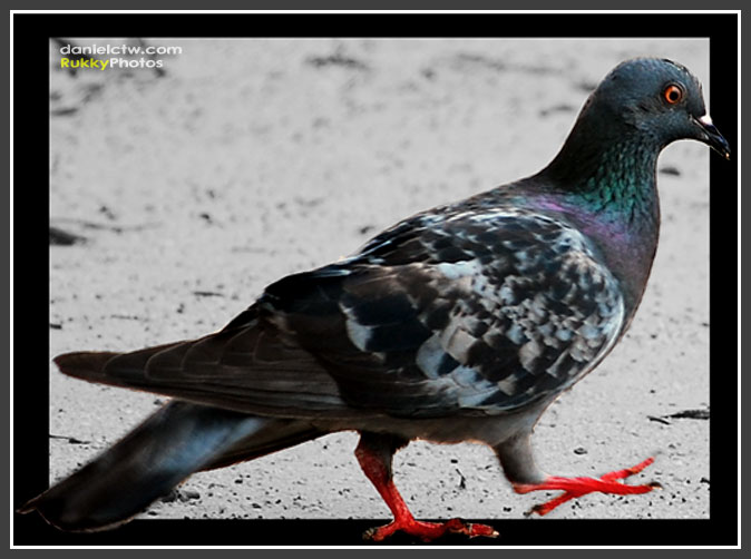 Pigeon At The Beach