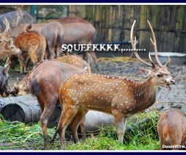 Squeeky Deer