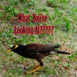 Tale of The Mynah