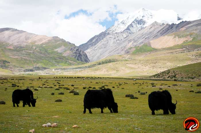 Buffalo Beyond Snow Capped Mountain