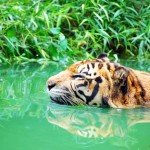 Tiger Blogfest 2010 – Tribute to TIGER