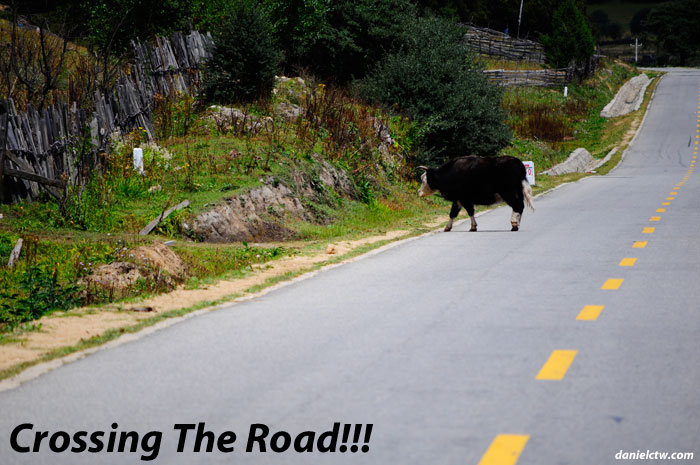 Yak Crossing The Road