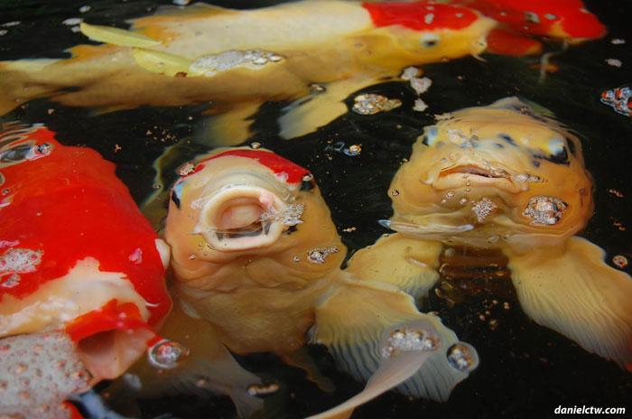 Giant Koi Fish