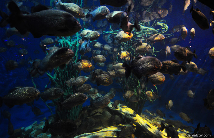 Seeing a lot of PIRANHAS in the water tank and seeing them feed in an ...