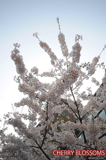 Cherry Blossoms Myeongdong