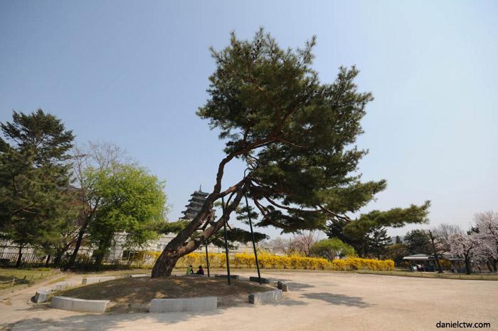 경복궁's Leaning Tree