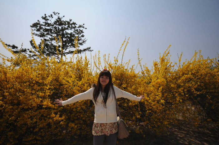 Yen Yellow Flowers Scenery 경복궁