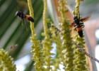 Wasp on Coconut Tree