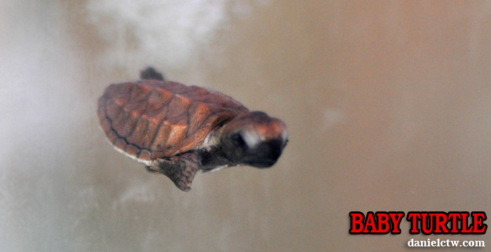 Baby Turtle Port Dickson