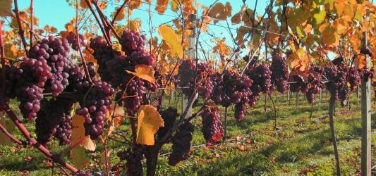 Waipara grapes