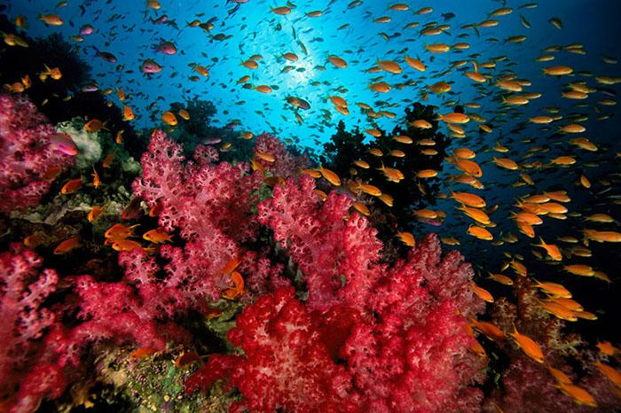 fiji island soft coral