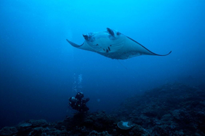 scuba diving manta ray