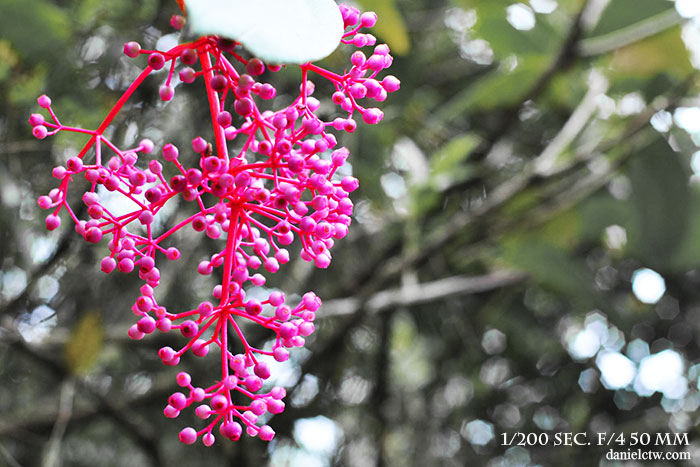 pink flower kinabalu botanical park