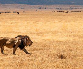 lion safari